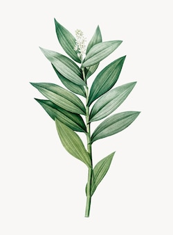 Smilacina stellataのヴィンテージイラスト