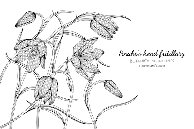 Snake's head fritillary flower and leaf botanical hand drawn illustration.