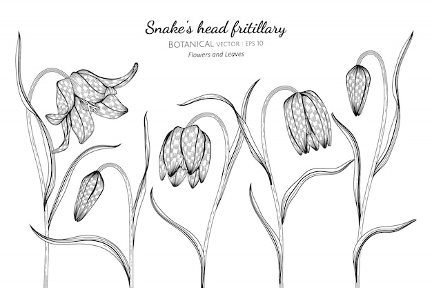 Snake's head fritillary flower and leaf hand drawn botanical illustration with line art on white