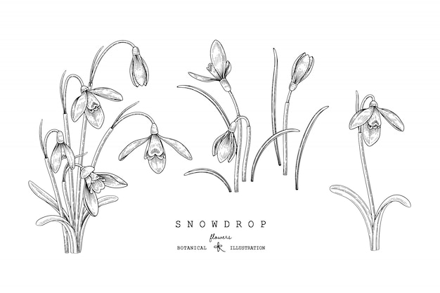 Snowdrop flower drawings illustration