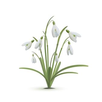 Snowdrop flowers on white background.