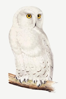 Snowy owl vector animal art print, remixed from artworks by john gould, edward lear and charles joseph hullmandel