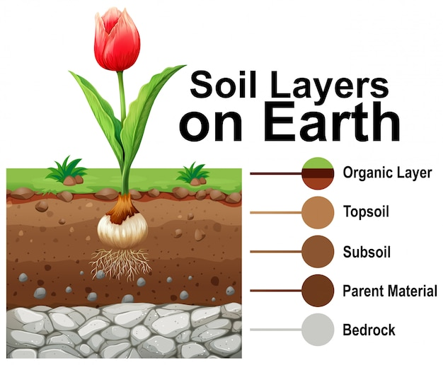 Soil layers on earth with tulip flower