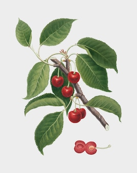 Sour cherry from pomona italiana illustration