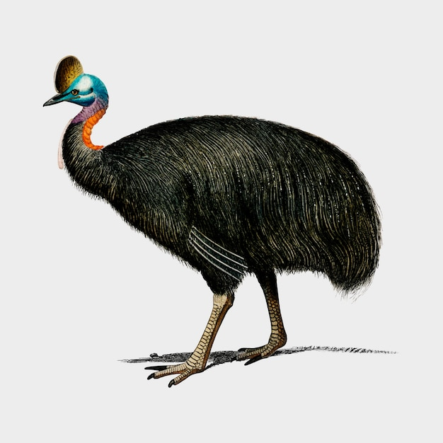 Southern cassowary (casoar à casque) illustrated by charles dessalines d'orbigny (1806-1876).