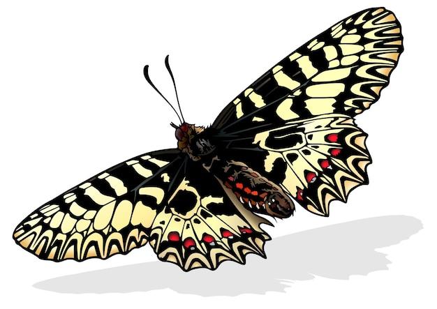 Южно-фестонная бабочка zerynthia polyxena