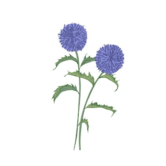 Southern globethistle flowers or inflorescences, stems and leaves isolated on white