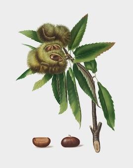 Spanish chestnut from pomona italiana illustration