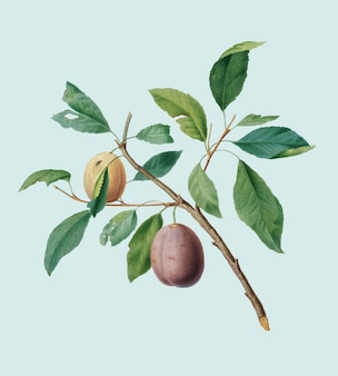 Spanish plums from pomona italiana illustration