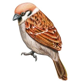 スズメの手描き水彩鉛筆鳥
