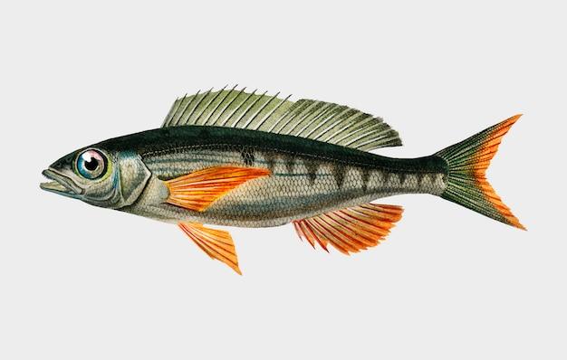 Рыба пандоара (sparus erthrinus), иллюстрированная чарльзом дессалином д'орбиньи (1806-1876).