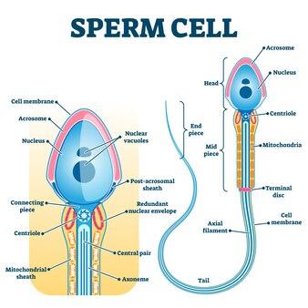 Sperm cell anatomy, education fertility