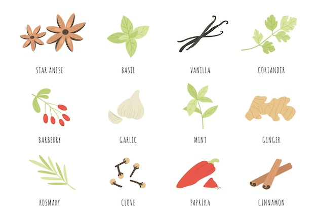 Spices. hand drawn herbs and spices star anise, basil and ginger, garlic. cinnamon, vanilla and paprika, mint and rosemary, clove vector set. aromatic ingredients and flavors for cooking and culinary
