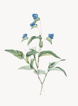 青いspiderwortのヴィンテージイラスト