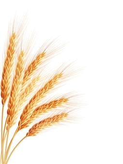 Spikelets 및 흰색 배경에 밀의 곡물.