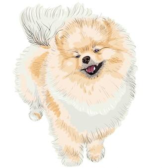Spitz dog smiles
