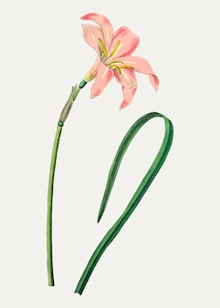 Spofforth fairy lily