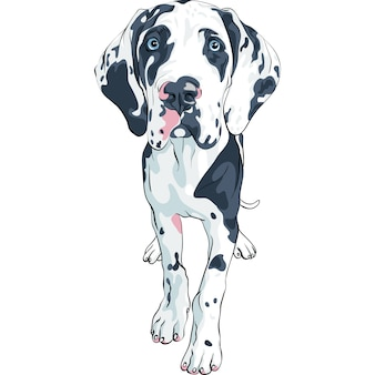Spotted dog great dane breed