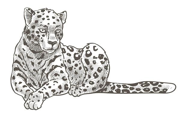 점박이 표범, 치타 또는 표범이 땅에 누워 쉬고 있습니다. 퓨마 또는 쿠거, 긴 꼬리를 가진 포식자. 사파리에서 동물원이나 야생 생활. 흑백 스케치 개요입니다. 고양이 고양이 동물, 평면 스타일의 벡터