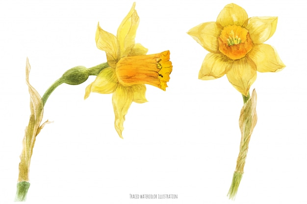 Spring daffodil narcissus