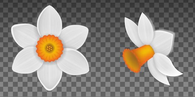 Весенние цветы изолированные нарцисс