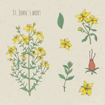 Иллюстрация st. john s wort медицинская ботаническая изолированная. растения, листья, фрукты, цветы рисованной набор. старинный эскиз красочный.