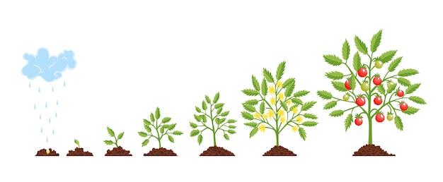段階の成長植物。