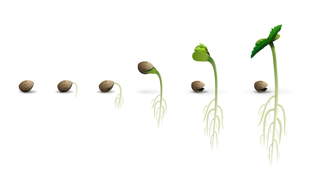Stages of cannabis seed germination from seed to sprout, realistic illustration isolated