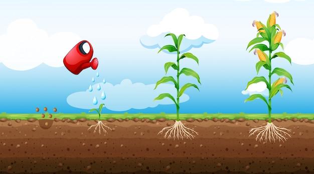 トウモロコシ植物の成長段階