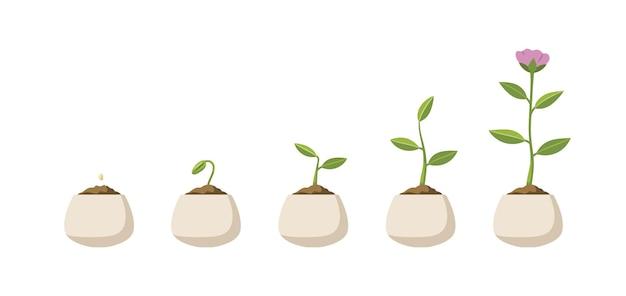 Этапы созревания зерна в растение
