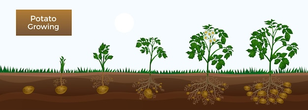 Fasi dell'illustrazione della coltivazione della patata