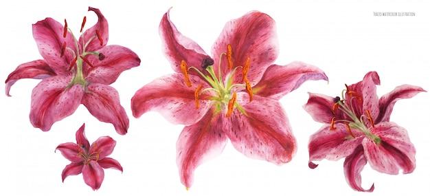 Цветы азиатской лилии stargazer прорисованы акварелью