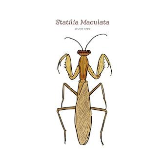 Statilia maculata、一般名アジアのカマキリ。手描きのスケッチのベクトル。