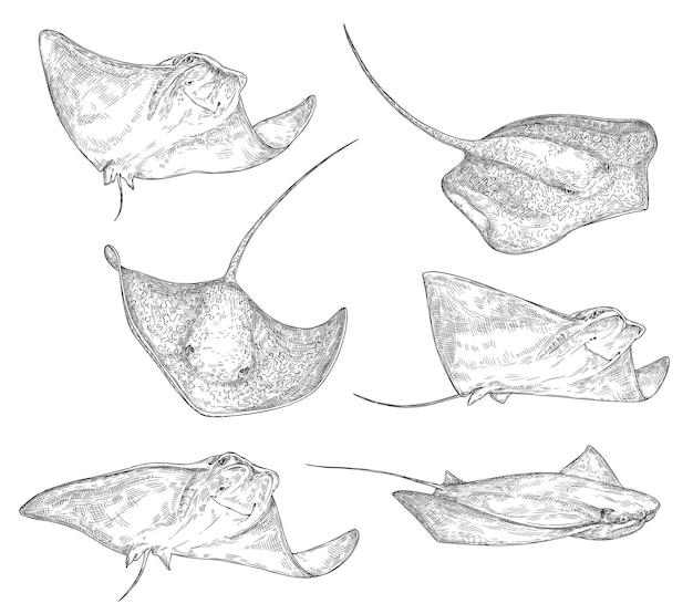 手描きスタイルのアカエイの魚のスケッチ