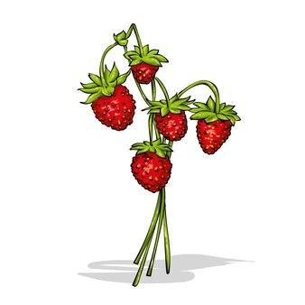 茎の上のイチゴ。図。