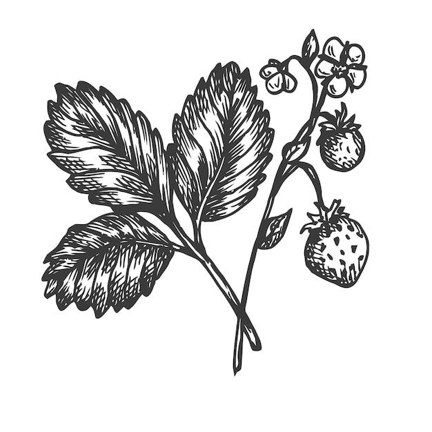 イチゴの手描きイラスト。