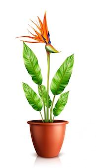 Strelitzia reginae in flowerpot