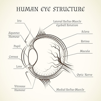 Structure of the human eye.