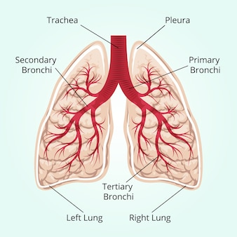 Structure of the lungs. healthcare, and pleura, diaphragm and breath and thorax.