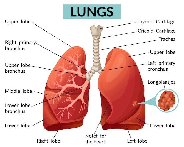 Structure of the lungs template