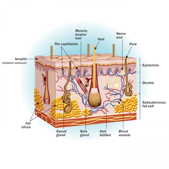 Структура клеток кожи человека