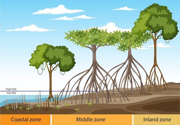 Структура мангрового леса с диаграммой трех зон