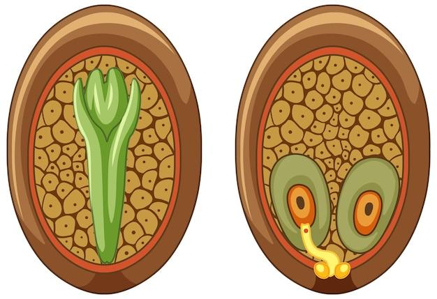 Строение мегаспорангия голосеменных растений.