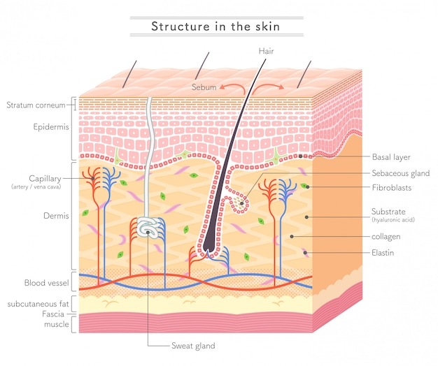 Structure in the skin_english notation