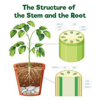 The structure of the stem and the root