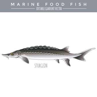 Sturgeon. marine food fish