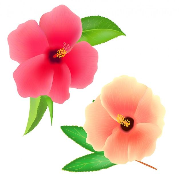 흰색 배경에 수단 장미 꽃입니다. roselle 또는 sabdariffa hibiscus. 현실적인 그림.