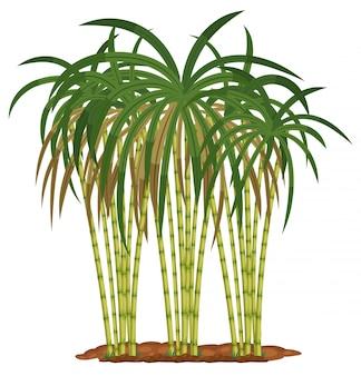 Sugar cane plant on white background