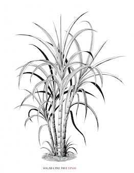 Sugar cane tree botanical illustration vintage engraving style black and white clipart isolated