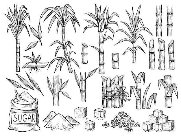 Sugar plant. agriculture production of sugarcane plantation hand drawn collection